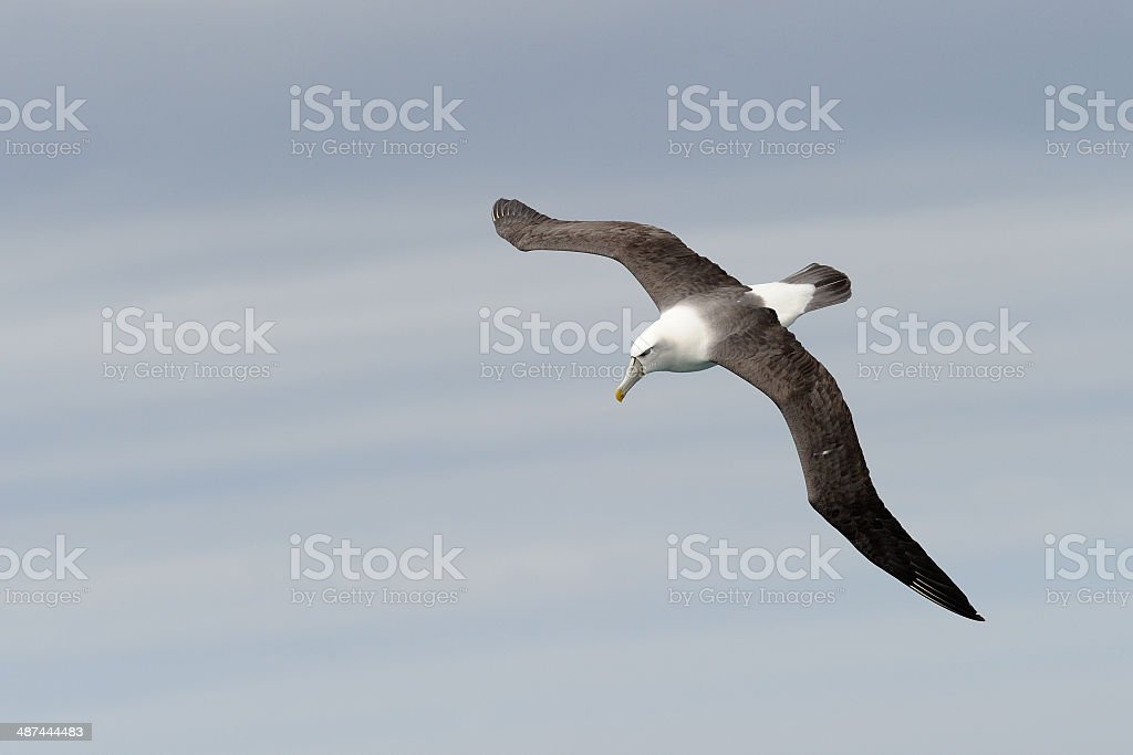 Shy Mollymawk in flight stock photo
