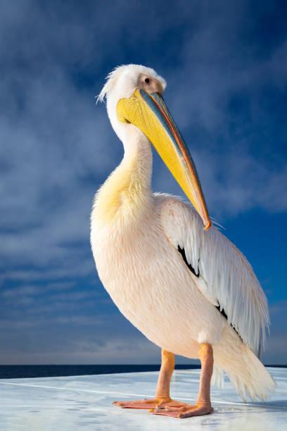 shy pelican - пеликан стоковые фото и изображения