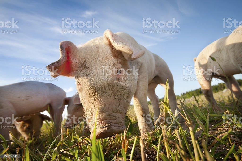 Shy pig stock photo