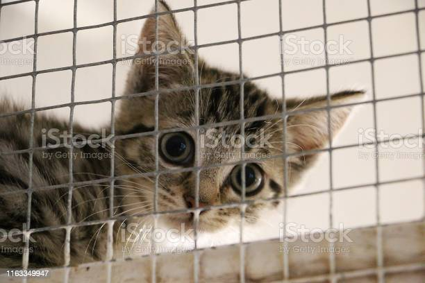 Shy small kitten is sitting behinde the fence and waiting for his new picture id1163349947?b=1&k=6&m=1163349947&s=612x612&h=rsp14jwn3ijqaorlfnri wx5da3tlknjp4vcroofjp0=