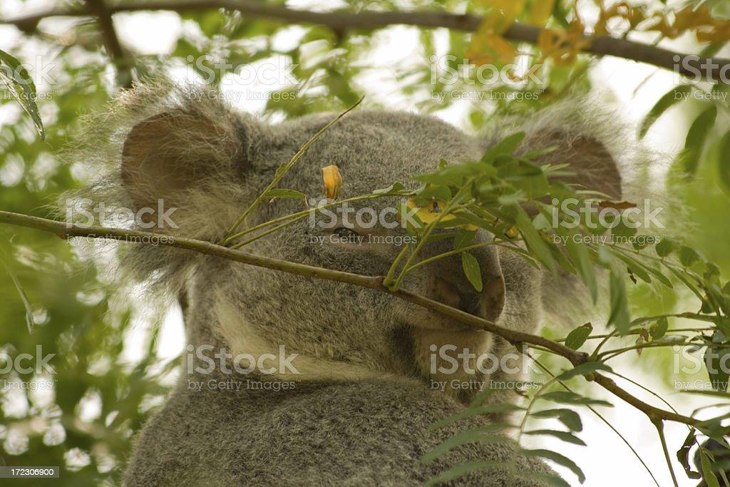 Shy smiling koala royalty-free stock photo