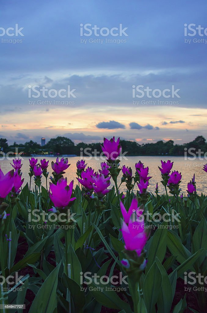 siam tulip against sunset royalty-free stock photo