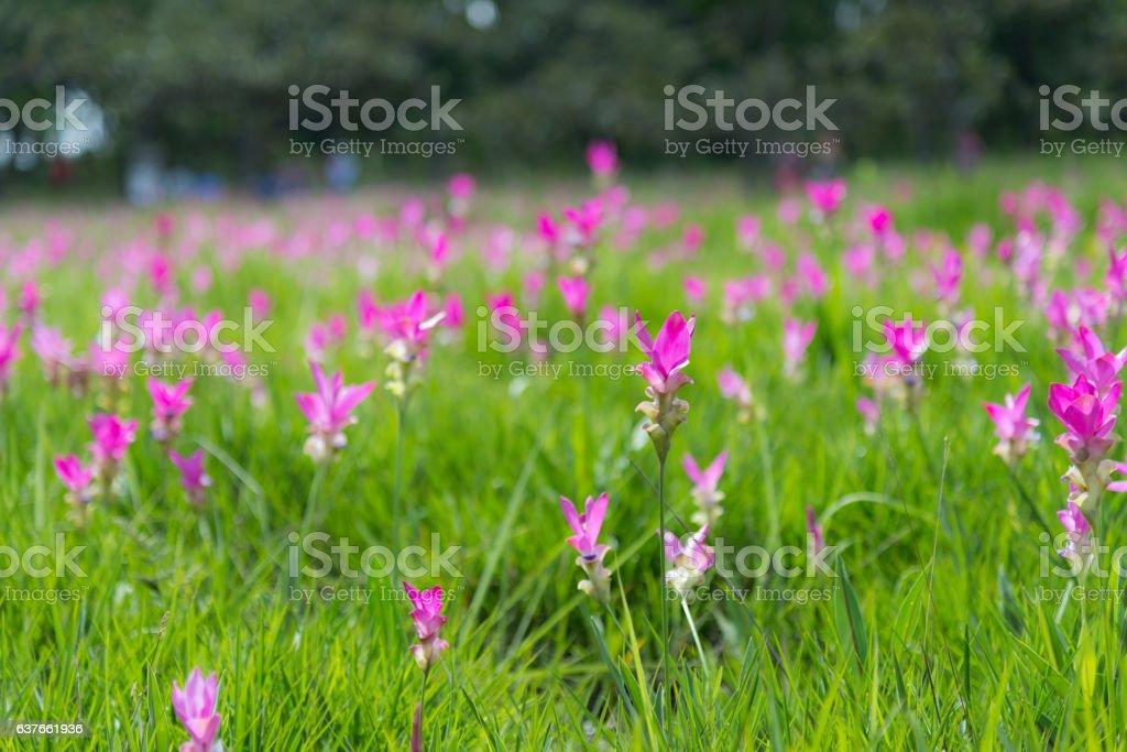 Siam tulip field stock photo