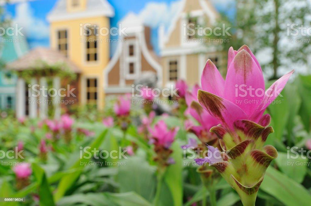 Siam Tulipe fleur photo libre de droits