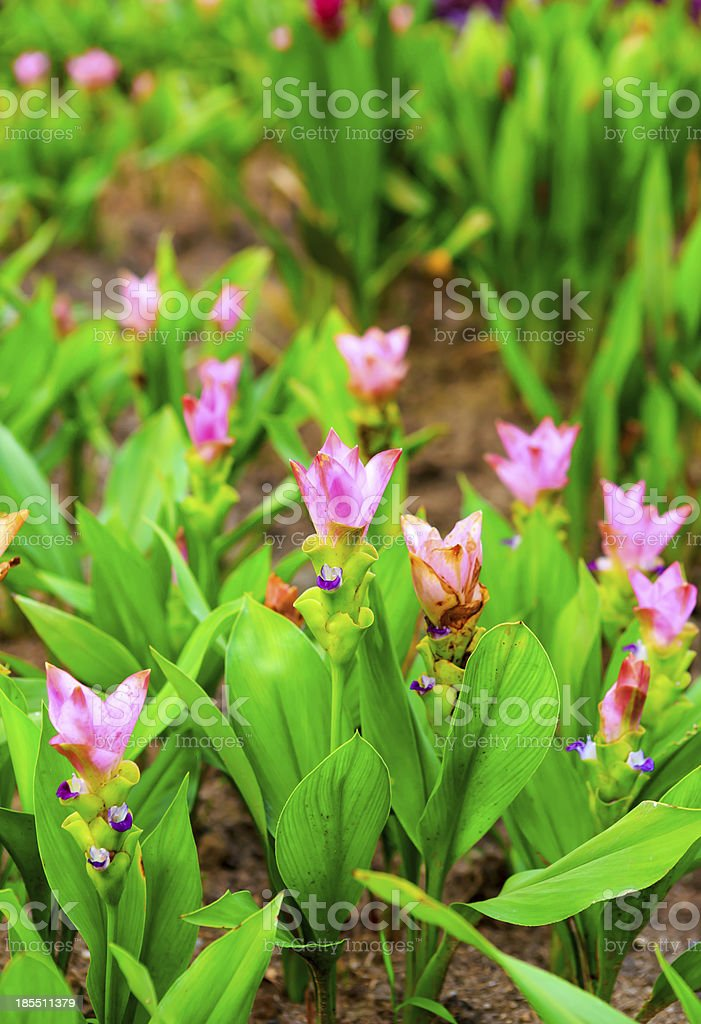 siam tulip flowers blossom royalty-free stock photo