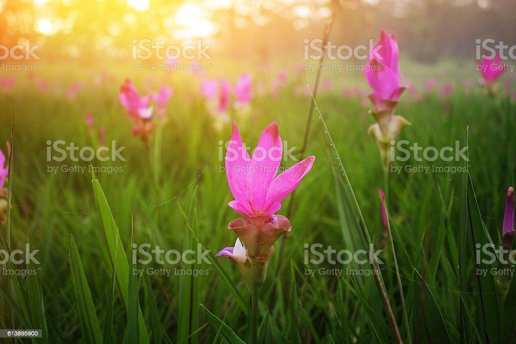 ,Siam tulip (Krachiao) stock photo