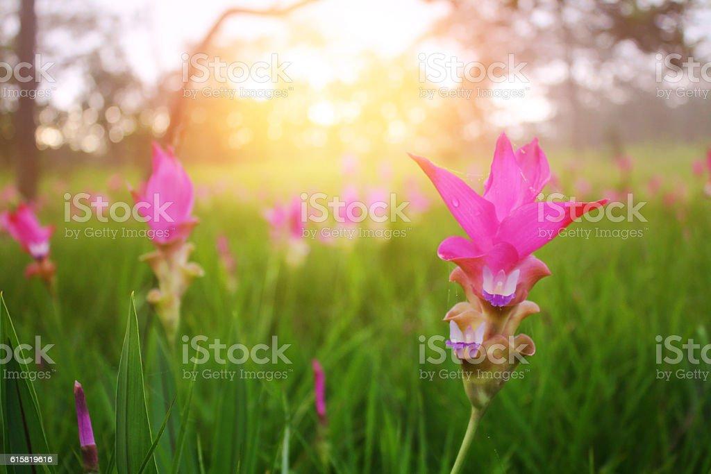 Siam tulip (Krachiao) stock photo
