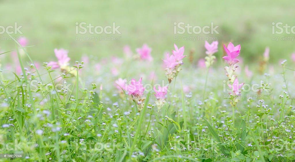 Siam tulip stock photo