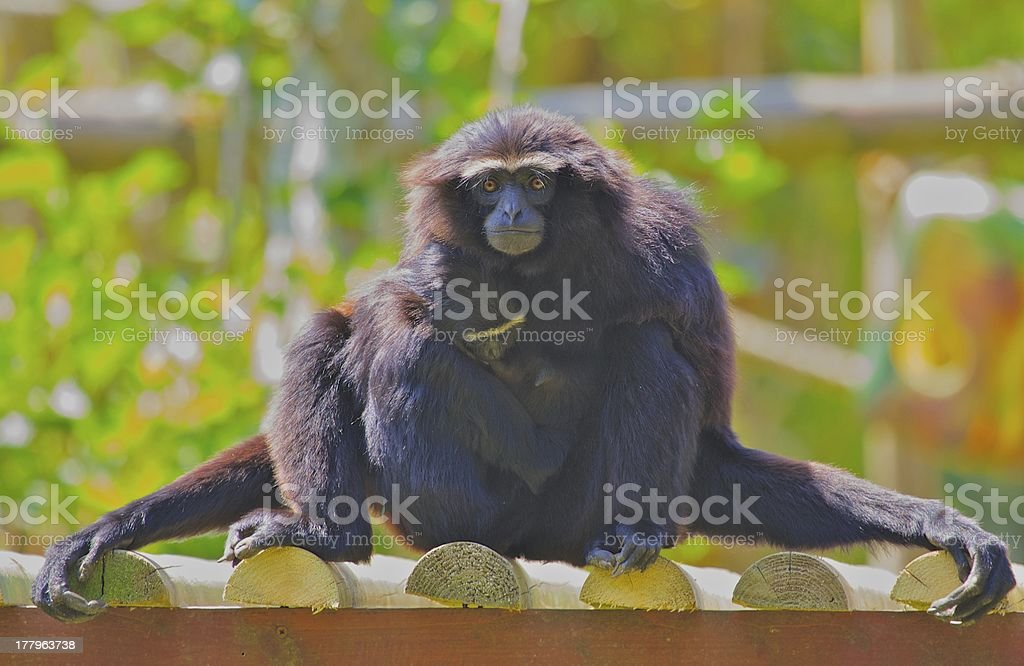 Siamang Gibbon & Child royalty-free stock photo