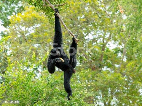 Siamang Gibbon swing and hang on tree branch and eating banana