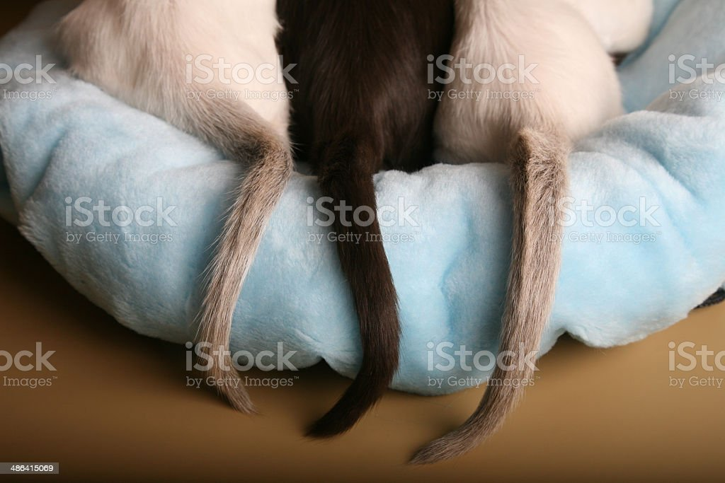 Siamese and oriental kittens tails on a bed stock photo