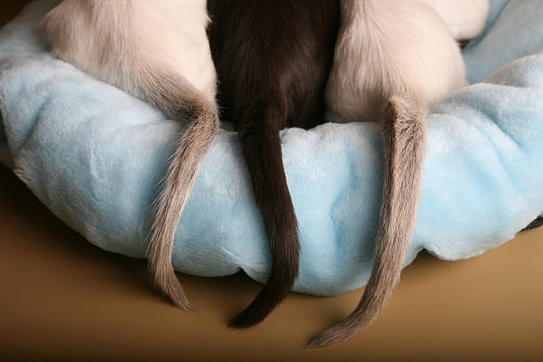 siamese and oriental kittens tails on a bed - tail stock photos and pictures