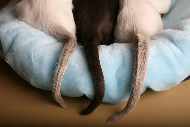 Siamese et oriental chatons queues sur un lit - Photo