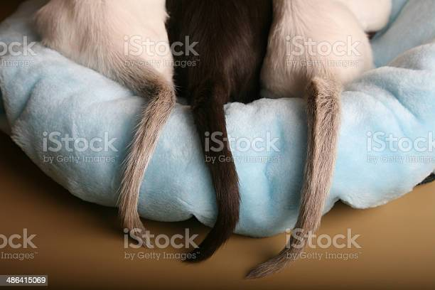 Siamese and oriental kittens tails on a bed