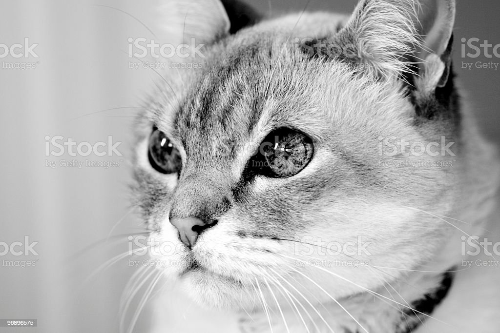 Siamese blue point royalty-free stock photo