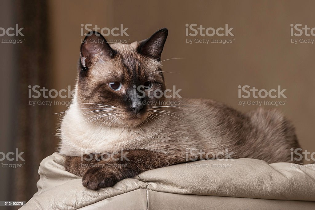 Siamese cat, adult stock photo