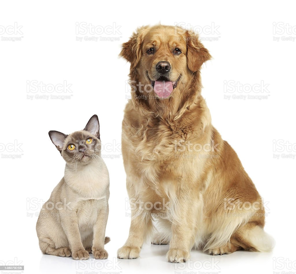 Siamese cat and golden retriever on white background royalty-free stock photo
