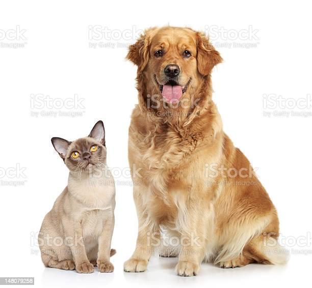 Siamese cat and golden retriever on white background picture id148079258?b=1&k=6&m=148079258&s=612x612&h=ymncdrm83sjpbz1yrjehsdutovsplowpbiyxwfpw040=