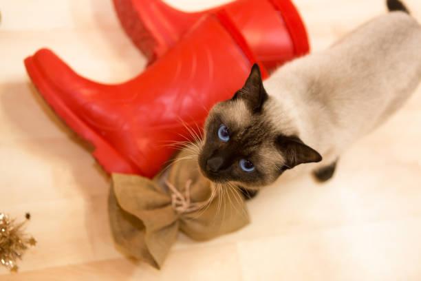 siamesische katze und rote santa stiefel - nikolausstiefel stock-fotos und bilder