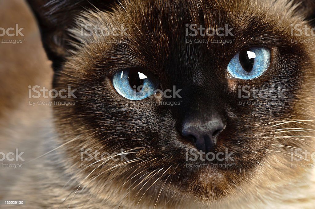 siamese cat closeup stock photo