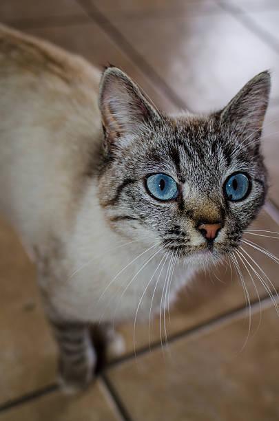 Siamese cat eyes stock photo