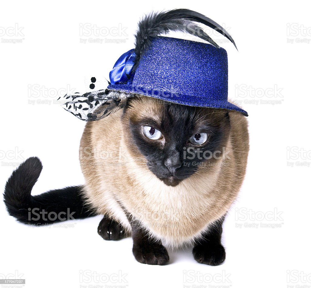 Siamese Cat Hilarious Party Animal isolated on the white background