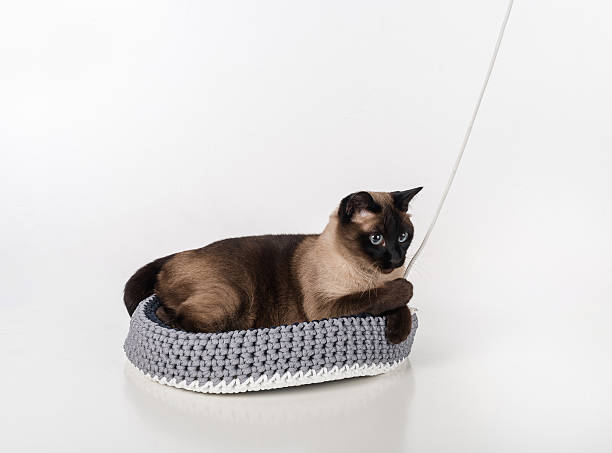 Siamese Cat in the handmade basket and playing with rope stock photo
