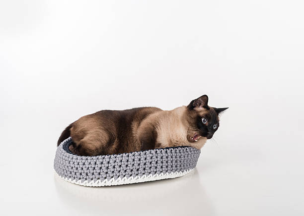Siamese Cat in the handmade basket. Mouth Open, Tongue Out stock photo
