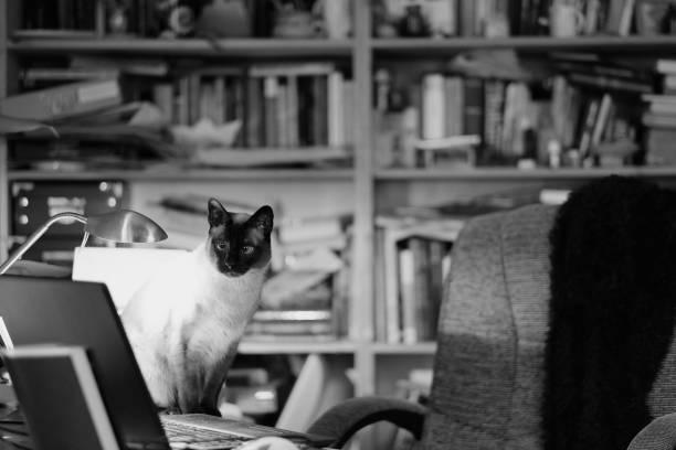Siamese cat in the interior picture id1137945322?b=1&k=6&m=1137945322&s=612x612&w=0&h= piidhciyhxdmkqhyfcolxeb90qnph2zhnxzmv8jloe=