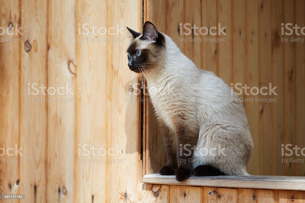 Siamese cat is sitting in the wooden house stock photo