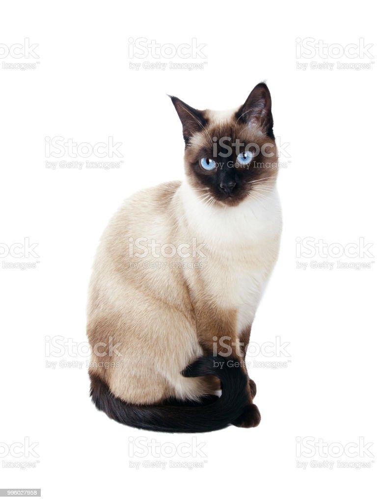 siamesische Katze isoliert auf weiss – Foto