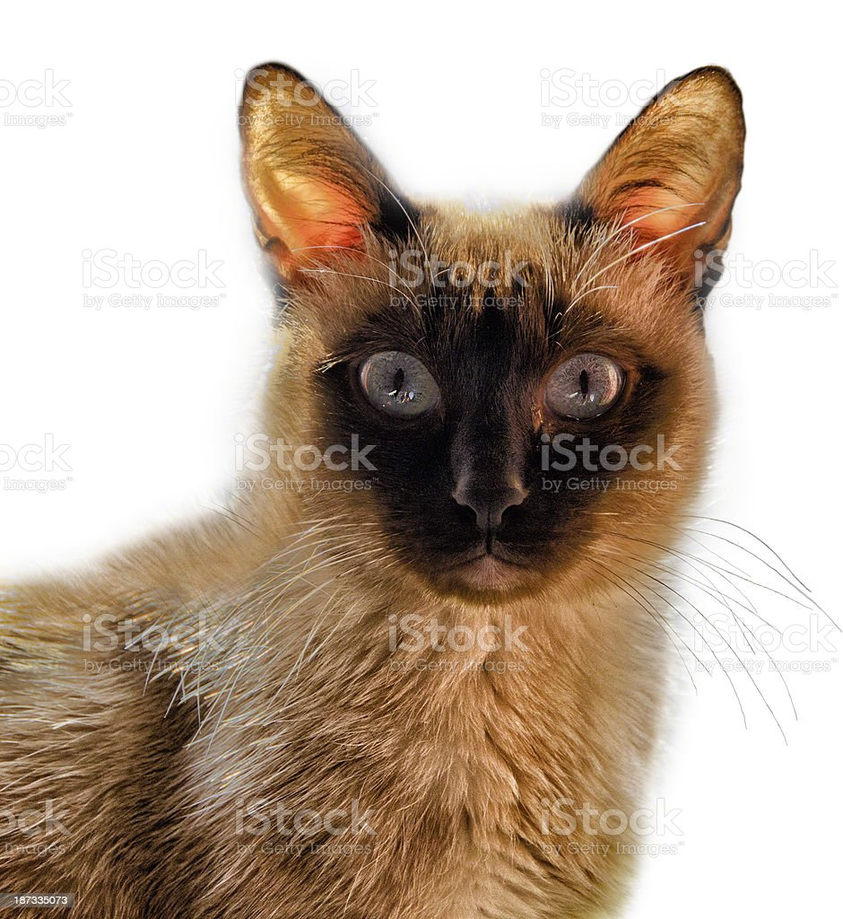 Siamese Cat - isolated royalty-free stock photo
