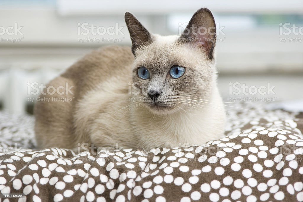 Siamese Cat laying on a comfy bed stock photo