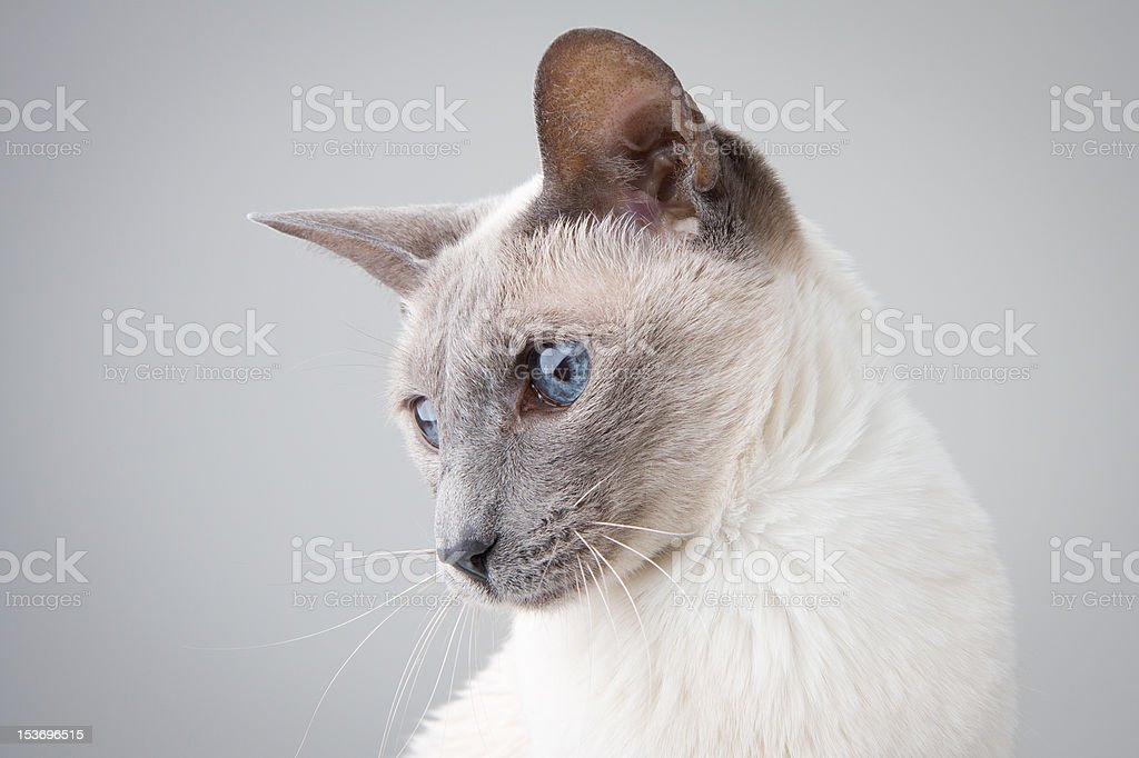 Siamese Cat Left Profile on Gray stock photo