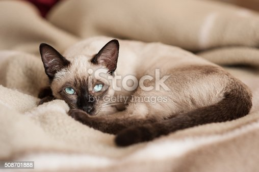 Purebred young siamese cat lying down at bed looking at camera