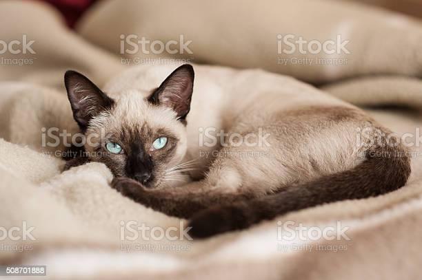 Siamese cat lying down at bed picture id508701888?b=1&k=6&m=508701888&s=612x612&h= atqz8gvof90hulyuibh  mahjbe1tsseuqqkgc6yra=