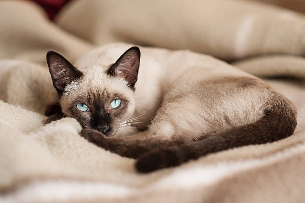 Siamese cat lying down at bed stock photo