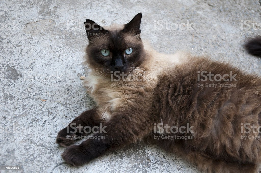 Siamese cat lying down royalty-free stock photo