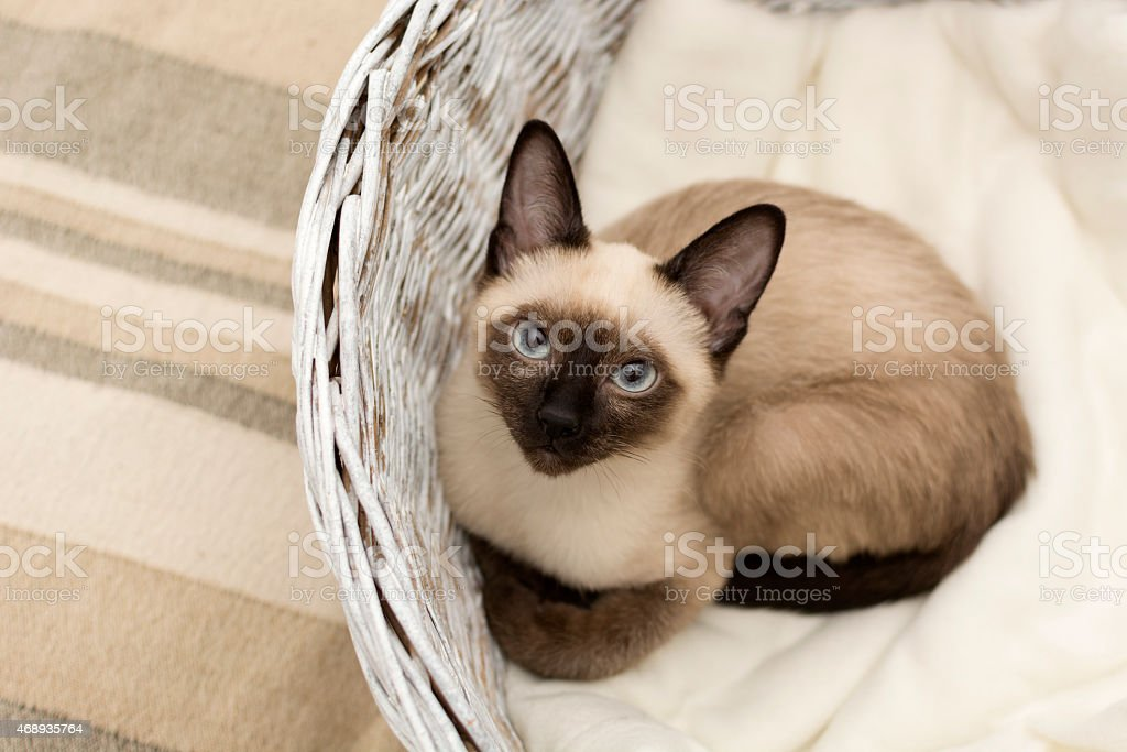 Siamese cat lying in a basket stock photo