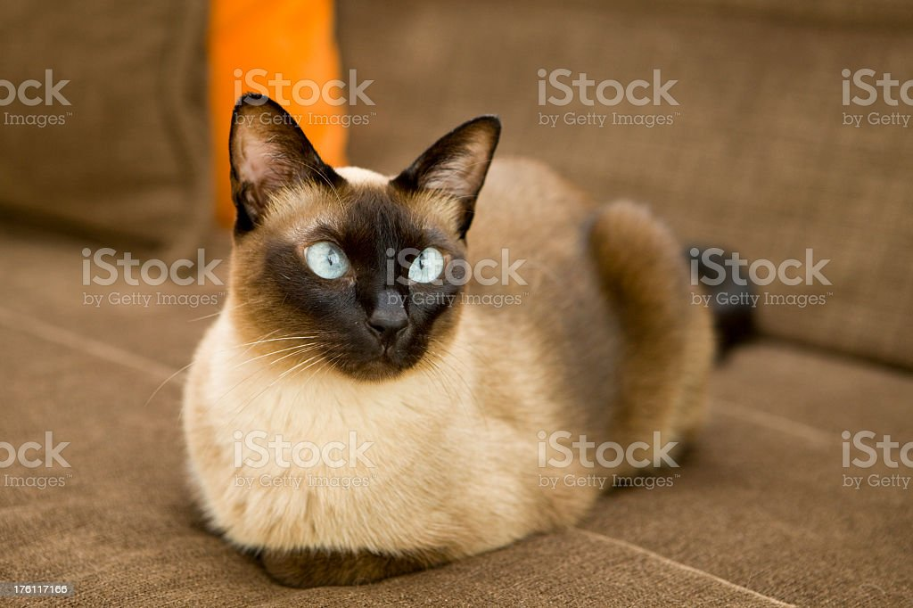 A Siamese cat lying on a brown sofa  stock photo