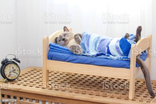 Siamese cat lying on a wooden bed covered with a blanket with clock picture id828571274?b=1&k=6&m=828571274&s=612x612&h=jizg7xxkg9oquuqfuog1vlcl9yuy5jtylv4slmgfpgw=
