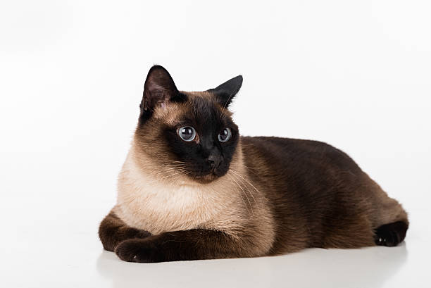 Siamese Cat Lying on the white desk. Looking Right stock photo