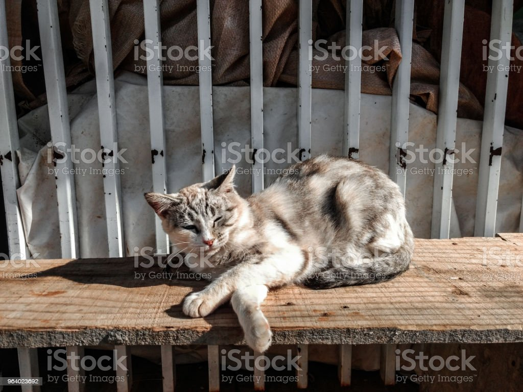 Siamese Cat on a wooden Bank - Royalty-free Animal Stock Photo