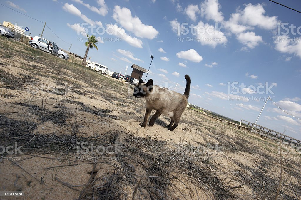 Siamese cat on the prowl royalty-free stock photo