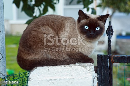 Full body portrait of a Siamese cat sitting on the column.