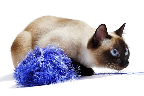 Siamese cat picture id152947686?b=1&k=6&m=152947686&s=612x612&w=0&h=hgpwwgt5swktdksbdl8hxqptlndzhfvltrpyf9wy3mg=