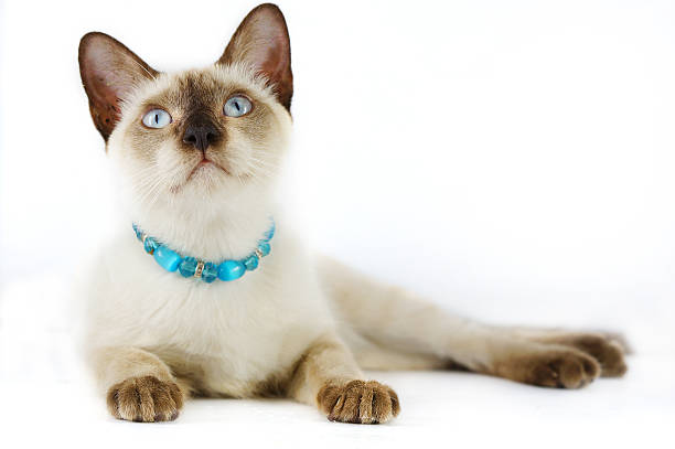 siamese cat . - cat leash stock photos and pictures