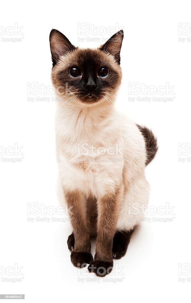 Kot Syjamski Stockowe Zdjęcia I Więcej Obrazów Azjaci Istock