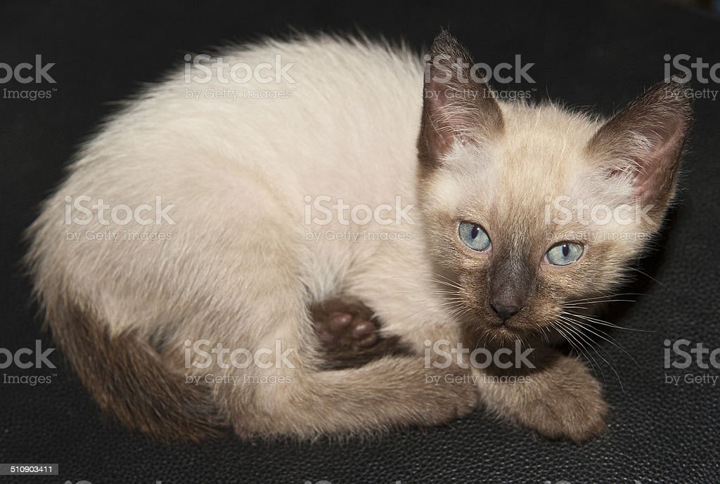 Siamkatze stock photo