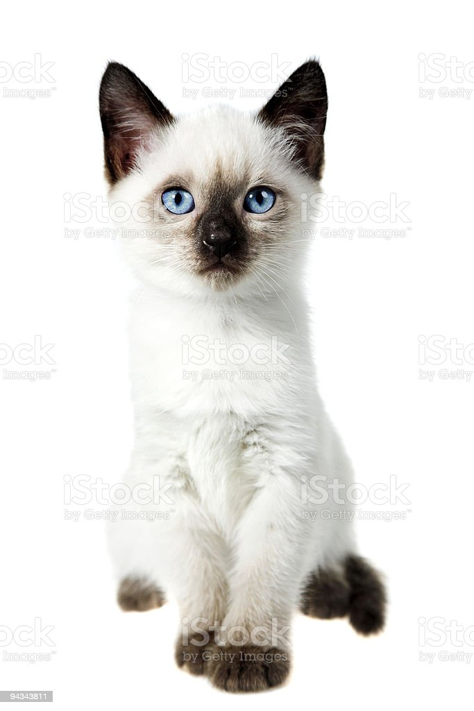 Siamese cat stock photo